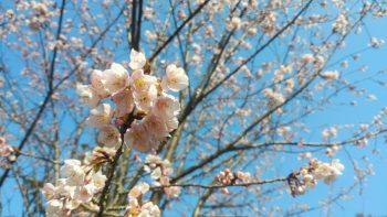 蜂須賀桜が見頃です