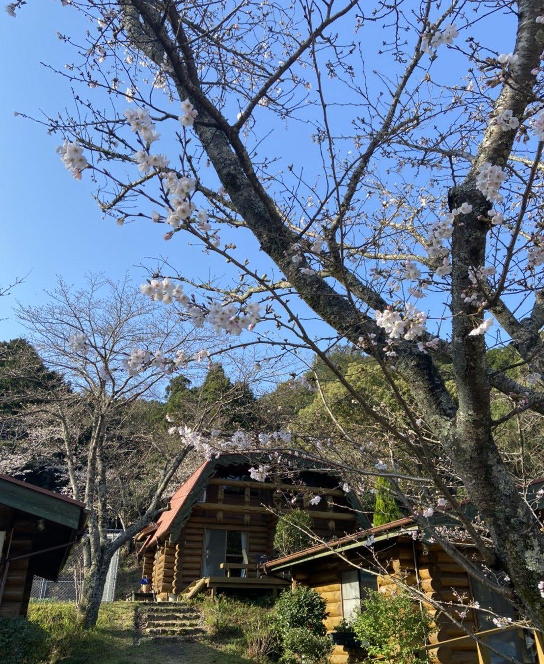 桜、咲き始めました!